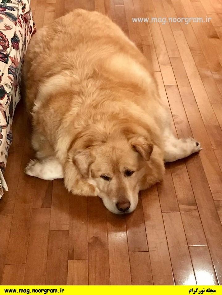 سگ 90 کیلویی