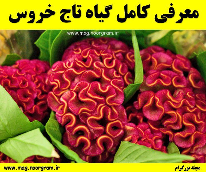 گیاه تاج خروس