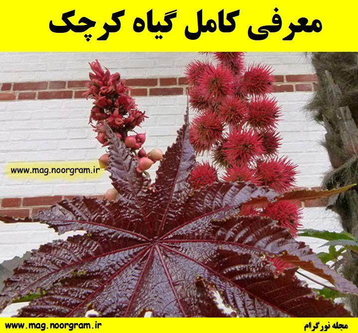 معرفی کامل گیاه کرچک