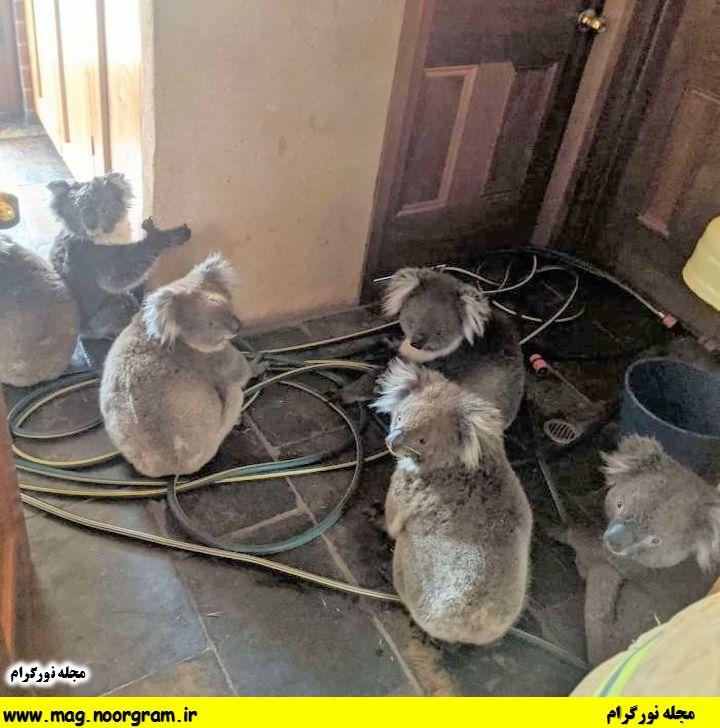 فرار کوآلا ها از آتیش سوزی استرالیا