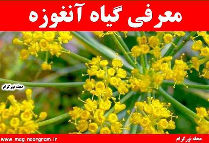 معرفی گیاه آنغوزه