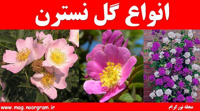 انواع گل نسترن
