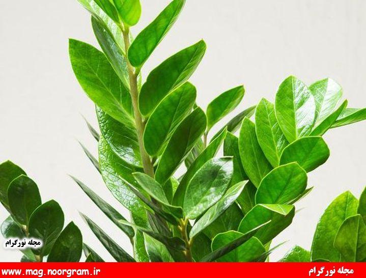 مشکلات گیاه زاموفیلیا