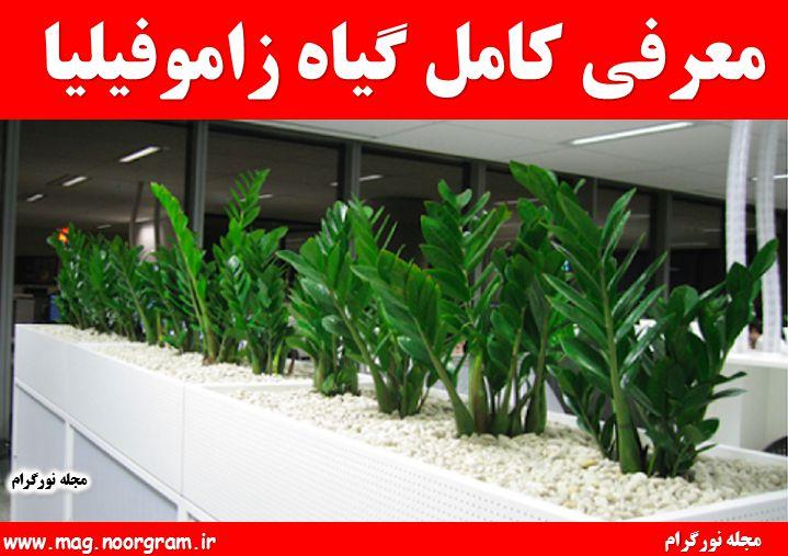 معرفی کامل گیاه زاموفیلیا