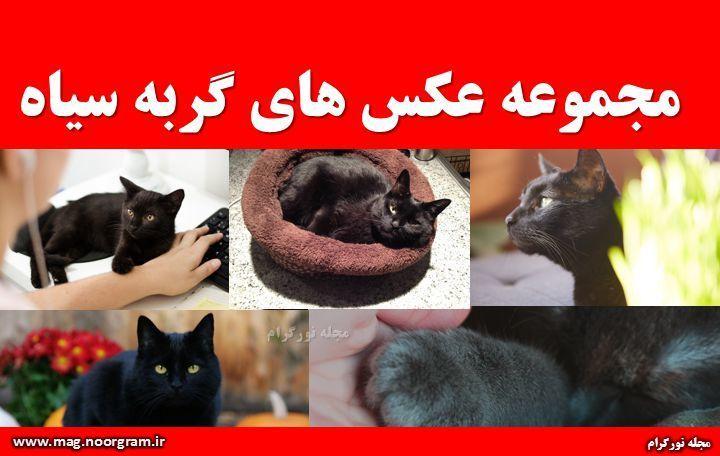 مجموعه عکس های گربه سیاه