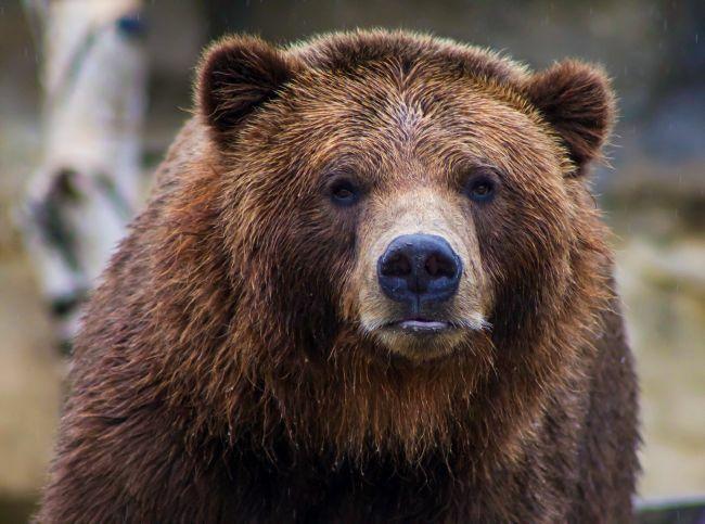 عکس خرس قهوه ای